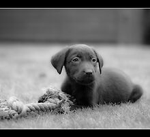 Chocolate Lab - Molly by njbphotography