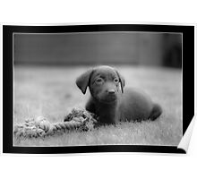 Chocolate Lab - Molly Poster