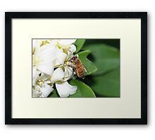 A Honey Bee Gathering Pollen from Mock Orange Flowers Framed Print
