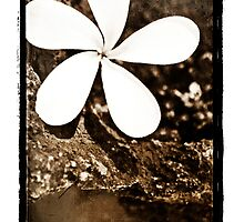 Plumeria Stone - Delicate contrast by Ramon Vrielink