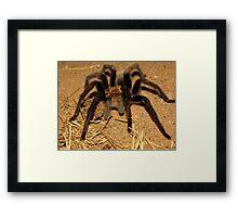 Arizona/Mexican Blonde Tarantula Framed Print