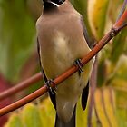Cedar Waxwing by Martin Smart