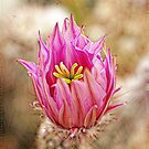 Cactus Flower by Bill Morgenstern