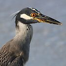 Immature night heron during day by jozi1