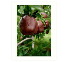 Apple Trees during Picking Season Art Print