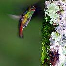 Rufous-tailed Hummingbird (Amazilia tzacatl) - Costa Rica by Jason Weigner
