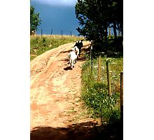 Cattle Line Photographic Print