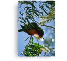 Rainbow lorikeet - Gold Coast - Australia Canvas Print