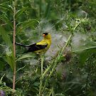 American Goldfinch - Male by jules572