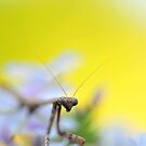 Mantis Spotted by Dennis Stewart