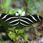 Zebra Longwing Butterfly by RebeccaBlackman