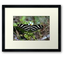 Zebra Longwing Butterfly Framed Print