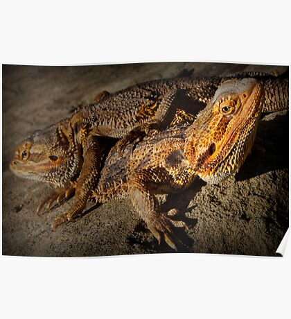 Inland Bearded Dragon  Poster