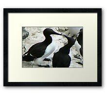 Guillemot Framed Print