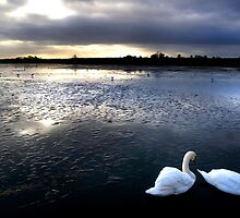 Swans at Sunset by Theresa Elvin
