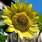 Sunflower by djphoto