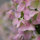 pink hydrangea by allisondegeorge