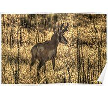 Wary Antelope Poster