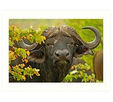 African Buffalo (Syncerus caffer) Art Print
