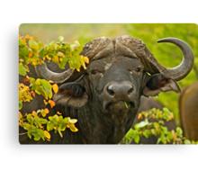 African Buffalo (Syncerus caffer) Canvas Print