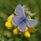 Male Common Blue Butterfly on Birdsfoot Trefoil by AnnDixon