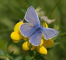 Male Common Blue Butterfly on Birdsfoot Trefoil by AnnDixon