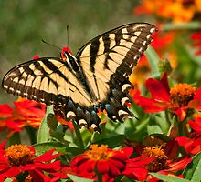 Sipping Zinnias by Claudia Kuhn