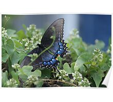 Butterfly Blue - Eastern Tiger Swallowtail  Poster