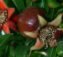 Pomegranate Blossoms, The Armenian Pride by rominakatchidb