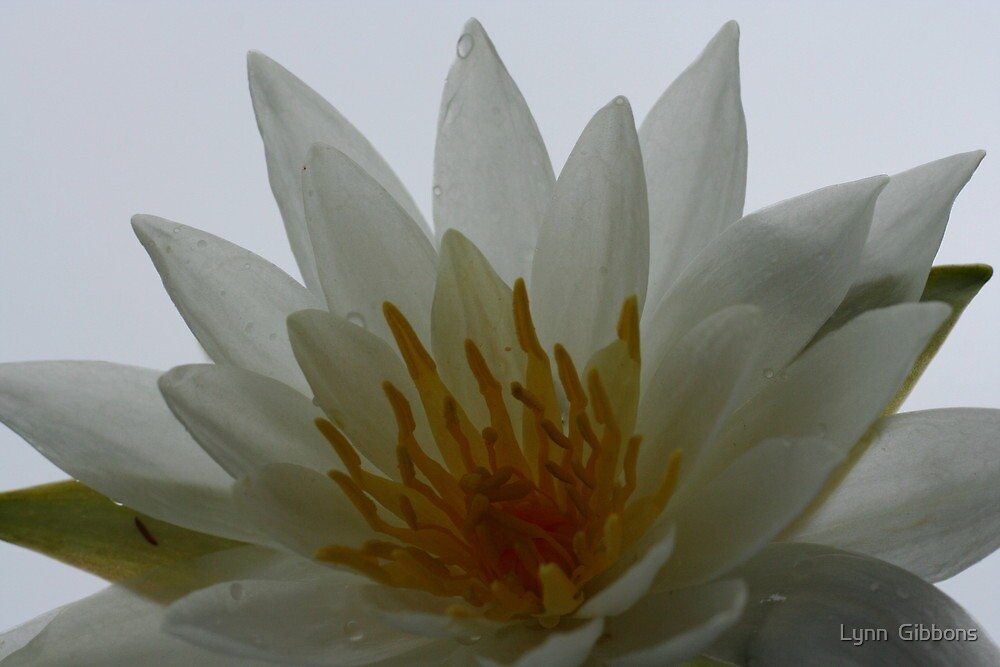 The Lily by Lynn  Gibbons