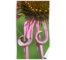 Echinacea With Curls Poster