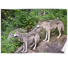 Timberwolf pair Poster