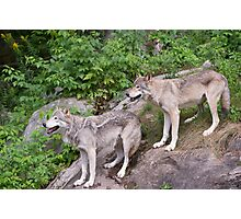 Timberwolf pair Photographic Print
