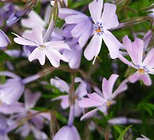 Periwinkle Phlox by BethCarrDesigns