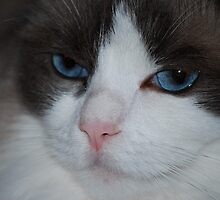 Eyes of a Ragdoll... by Carol Clifford