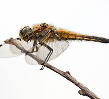 4 spot chaser by anniek1947
