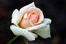 Peach of a Rose by RebeccaBlackman