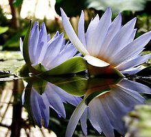 Reflections from a Lily Pad by Cupertino