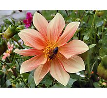 Dahlia and Bee Photographic Print