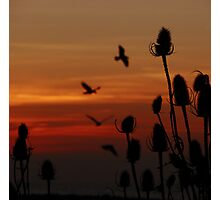 Just A Little Teasel Photographic Print