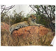 Leopard reclining in Kruger National Park, Sth Africa Poster