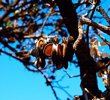 Banksia seed pods after bushfires by Imagebydg