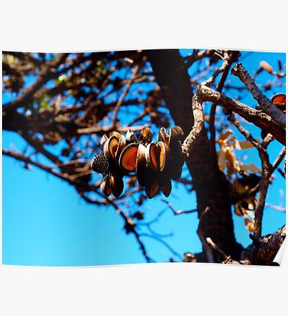 Banksia seed pods after bushfires Poster