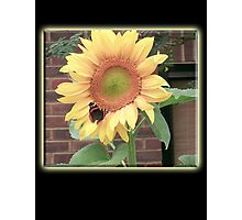 Sunflower, Butterfly, Environment, English Country, Garden Photographic Print