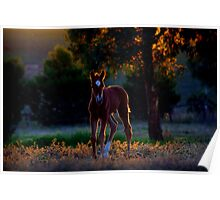 Evening foal Poster