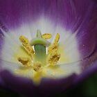 Tulip by Geraldine Miller