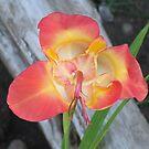 Tigridia Bloom by Tracy Wazny