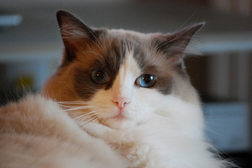 The Look of Love...Ragdoll Love by Carol Clifford