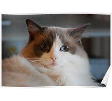 The Look of Love...Ragdoll Love Poster