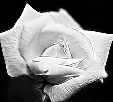 white rose by Ted Petrovits